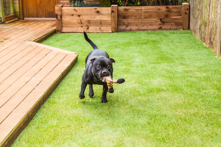 dog bouncing with toy on artificial lawn